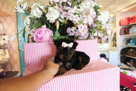 Tiny Micro Teacup Yorkies Puppies:.... (469) 672-5500