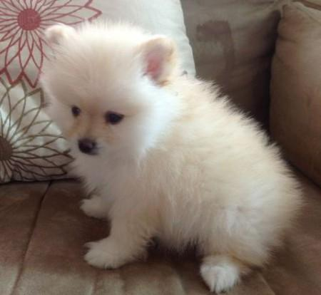 Fantastic Female and Male Pom.meraniann Pu.pp.ies for new home (302) 585-5026