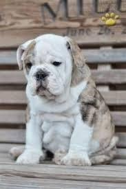 FREE*FREE ACTIVE AWESOME BOTH RAISED Fine M/F English B.u.l.l.d.o.g Puppies!!!(301) 463-7620 for de