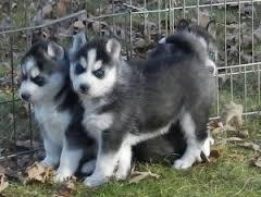 Gorgeous Siberiaan Huskee puppies looking for good homes//(843-776-2914
