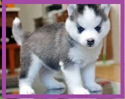 Pennysaver Cute And Adorable Siberian Husky Puppies In El Paso