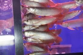Asian arowana fishes on sale