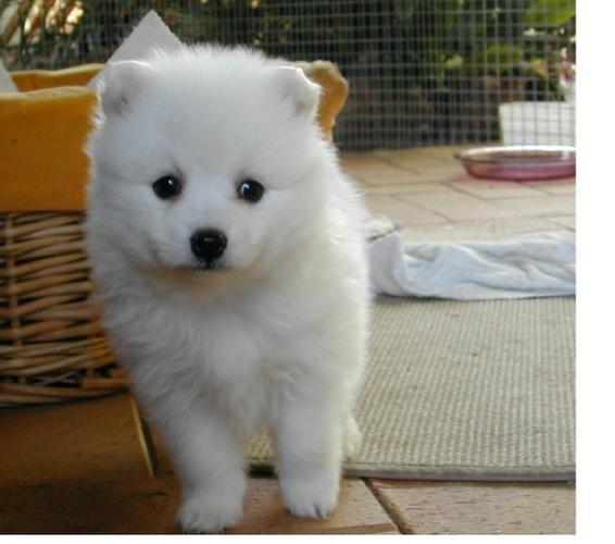 Two Gorgeous J.a.p.a.n.e.s.e   s.p.i.t.z  Puppies Available.,