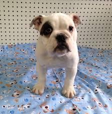 Two Gorgeous English B.u.l.l.d.o.g Puppies Available.(512) 859-4621