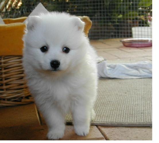 Two Gorgeous J.a.p.a.n.e.s.e   s.p.i.t.z  Puppies Available.,---0