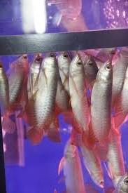Asian arowana fishes on sale