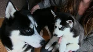 ??? Healthy Siberia.n Husk.y puppies!!! (302) 585-5821