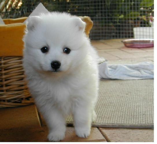 Two Gorgeous J.a.p.a.n.e.s.e   s.p.i.t.z  Puppies Available.,\