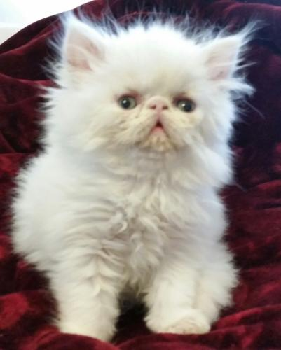 Adorable CFA-Registered Male Persian Kitten For Sale 7 Weeks