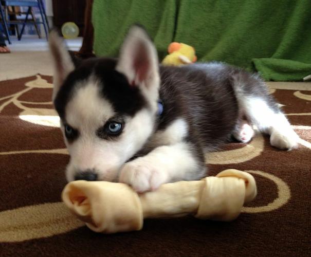 ??? Healthy Siberia.n Husk.y puppies!!! (302) 585-5821