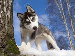 F..R..E..E S.I.B.E.R.I.A.N H.U.S.K.Y Puppies: contact us at (240....542....6119)
