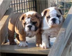 English bulldogs puppies for adoption