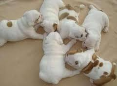 A.d.o.r.a.b.le E.n.g.l.i.s.h B.u.l.l.d.o.g puppies. So gentle and affectionate.(816) 919-2147