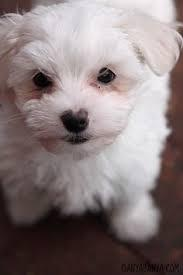 ??? FREE Top Quality Malteses Puppies:....contact us at (470) 253-0015