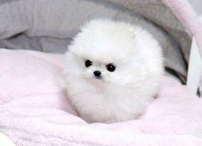 Adorable pomeranian puppies for adoption