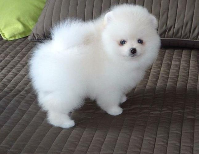 Cute and lovely pomeranian g puppies for adoption