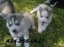akc siberian husky puppy, male, blue eyes!