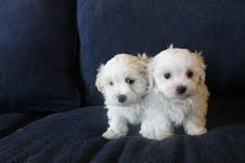 Male and female registered teacup Maltese puppies up for a good home