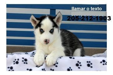 CUTE S.i.b.e.r.i.a.n H.u.s.k.y Puppies: contact us at.205*212*1903*
