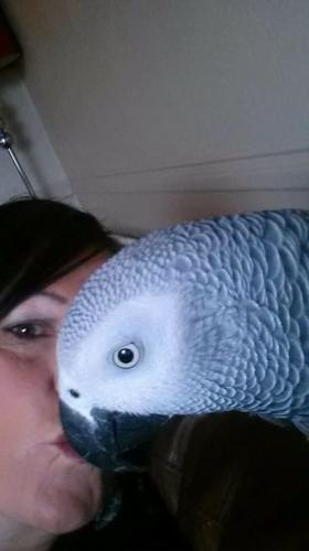 Best quality Africa Grey parrots for sale