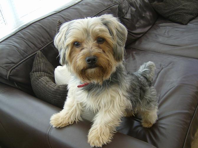 Cute Y.O.R.K.I.E Puppie.s (720) 729-8052
