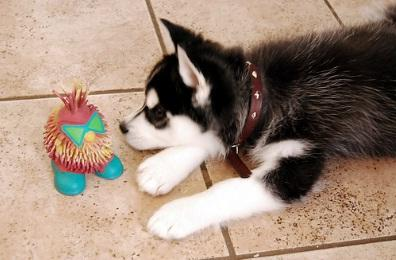 wenroney42@gmail.com (240) 257-3706)  I have an adorable  husky puppy ! She is very gorgeous, cute a