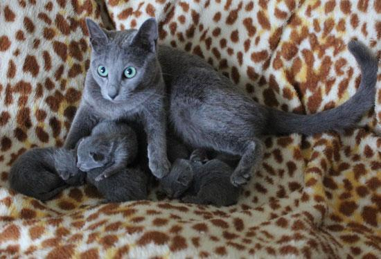 # ?? Quality Russian Blue kittens:....??** (435) 932-0860