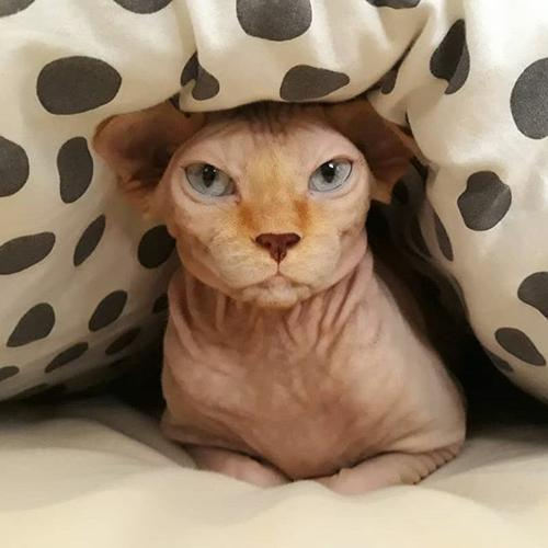 adorable sphynx kittens available ....