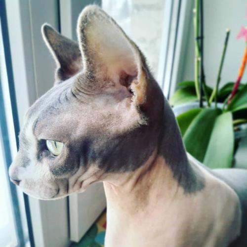 awesome and sweet sphynx kittens for rehoming