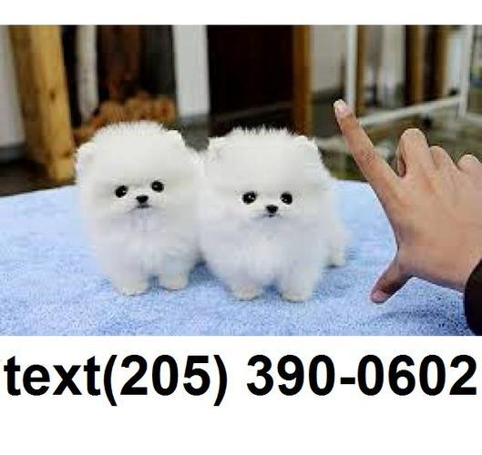 Beautiful pomeranian puppies for sale