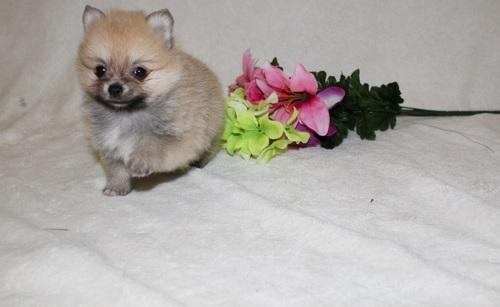 ?po.mer.enian  P.upp.i.e.s For F.r.e.e, (915-257-6907/Ready Now 12 Weeks Old #