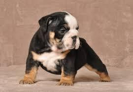 Well behaved E.n.g.l.i.s.h B.u.l..l.d.o.g Puppies looking for good  homes.(301) 463-7620 for details