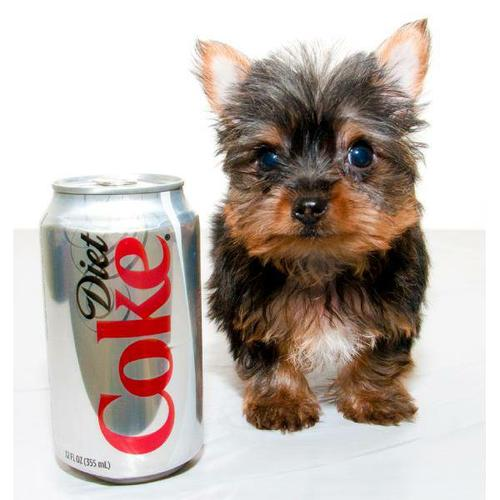Quality Teacup Yorkies Puppies:.... (240) 466-4864