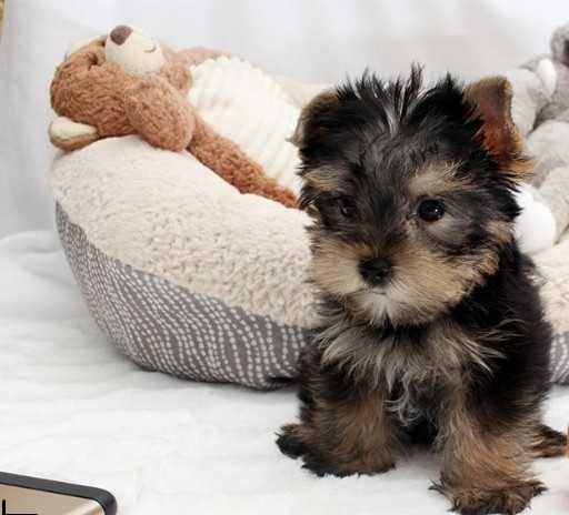 Quality Teacup Yorkies Puppies:.... (443) 488-9603