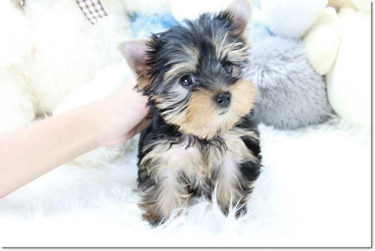 Quality Teacup Yorkies Puppies:.... (443) 488-9603
