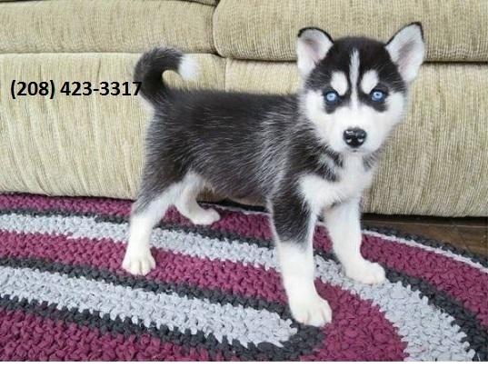 Husky Puppies text or call (208) 423-3317