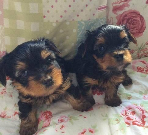 ?Y.o.R.k.i.e P.upp.i.e.s For F.r.e.e, (915 308 7209/Ready Now 12 Weeks Old