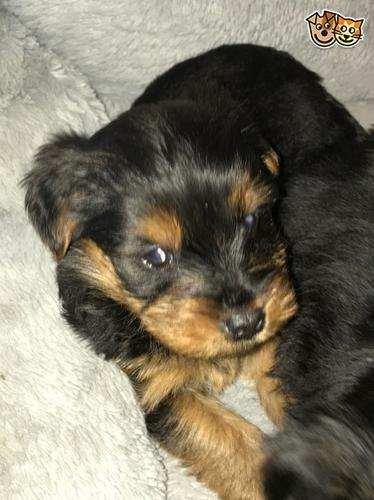 Y.o.R.k.i.e P.upp.i.e.s For F.r.e.e, Ready Now 3 months Old # (302) 524-1140
