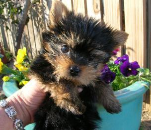 ?Y.o.R.k.i.e P.upp.i.e.s For F.r.e.e,#((678)-881-4735/Ready Now 18 Weeks Old