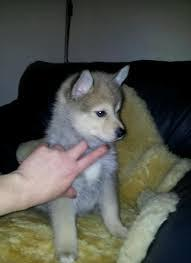#Charming  Po.m.sky Pu.pp.ies  Available for good homes