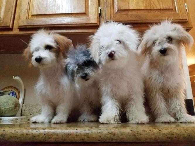 Lovely Maltese Poodle Puppies For Sale