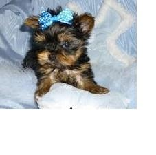 TWO Tiny CUTE Tea-cup Yorkies Pu.ppies Need 4ever Home NO FEES!!. Not For Sell!! PICK UP AT OUR