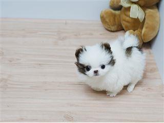 pure breed P.o.m.e.r.a.n.i .a.n puppies (631) 533-0129