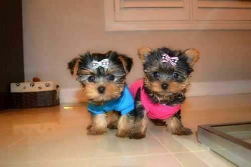 Trained Tea-cup Yorkies Pu.ppies ) Need Hom   (915) 996-2344 We have 2 beautiful gorgeous Te