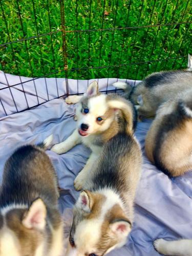 Active intelligent Girl/Boy Blue-Eyes Siberian  Husky puppies for adoption