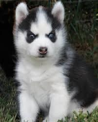 BLUE eyes H.u.s.k.y puppies free (303) 990-5538