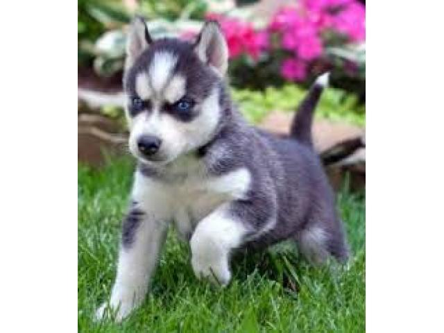 BLUE eyes H.u.s.k.y puppies free (303) 990-5538