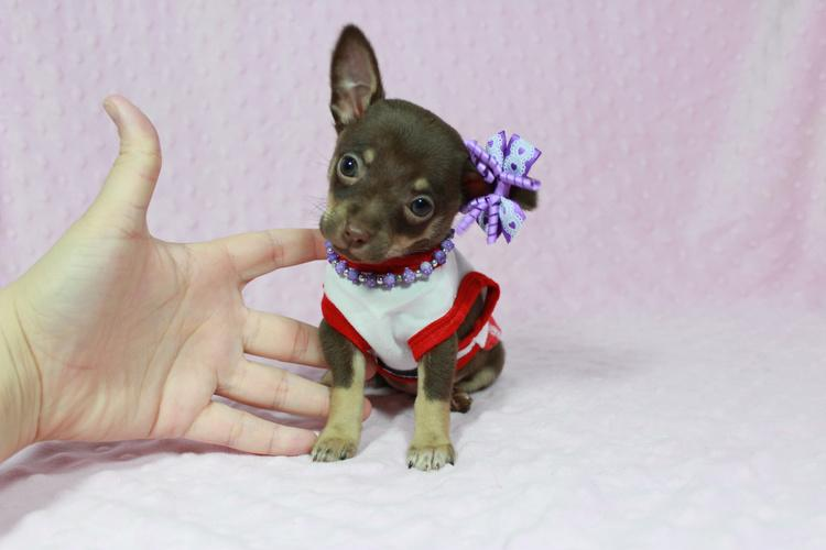 Tiny Teacup Chihuahua puppies in Las Vegas!