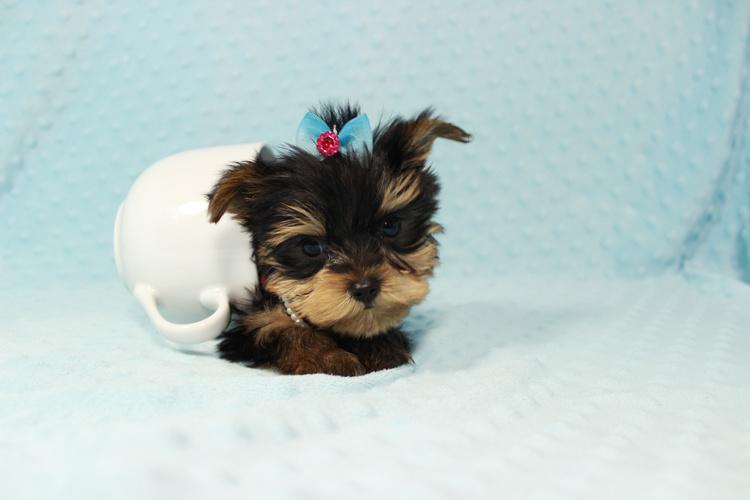Micro Yorkie Puppies in las Vegas, Nevada!
