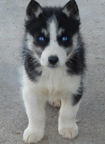 CUTIE S.I.B.E.R.I.A.N H.U.S.K.Y Puppies: contact us at (916) 287-3304